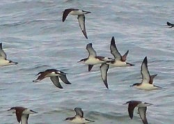 Image of seabirds flying low over sea