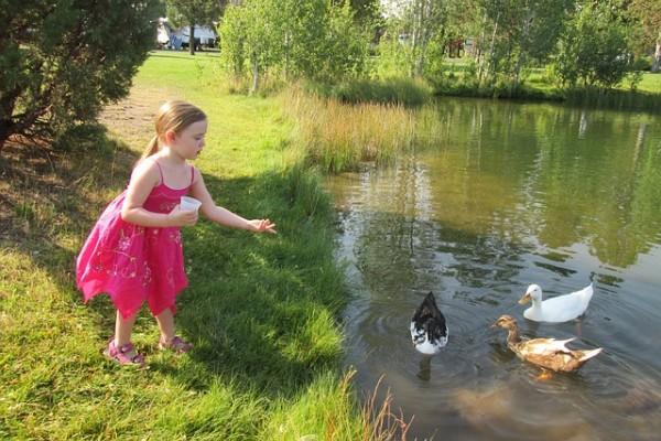 Reeding Ducks Croydon